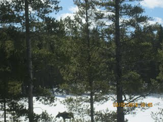 Moose on Big Lake